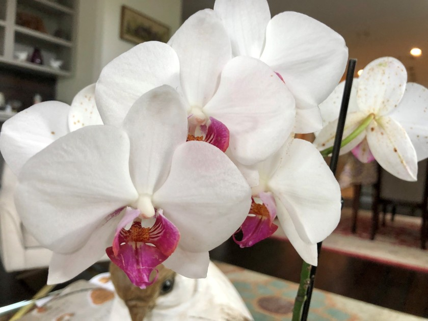 orchidwhite