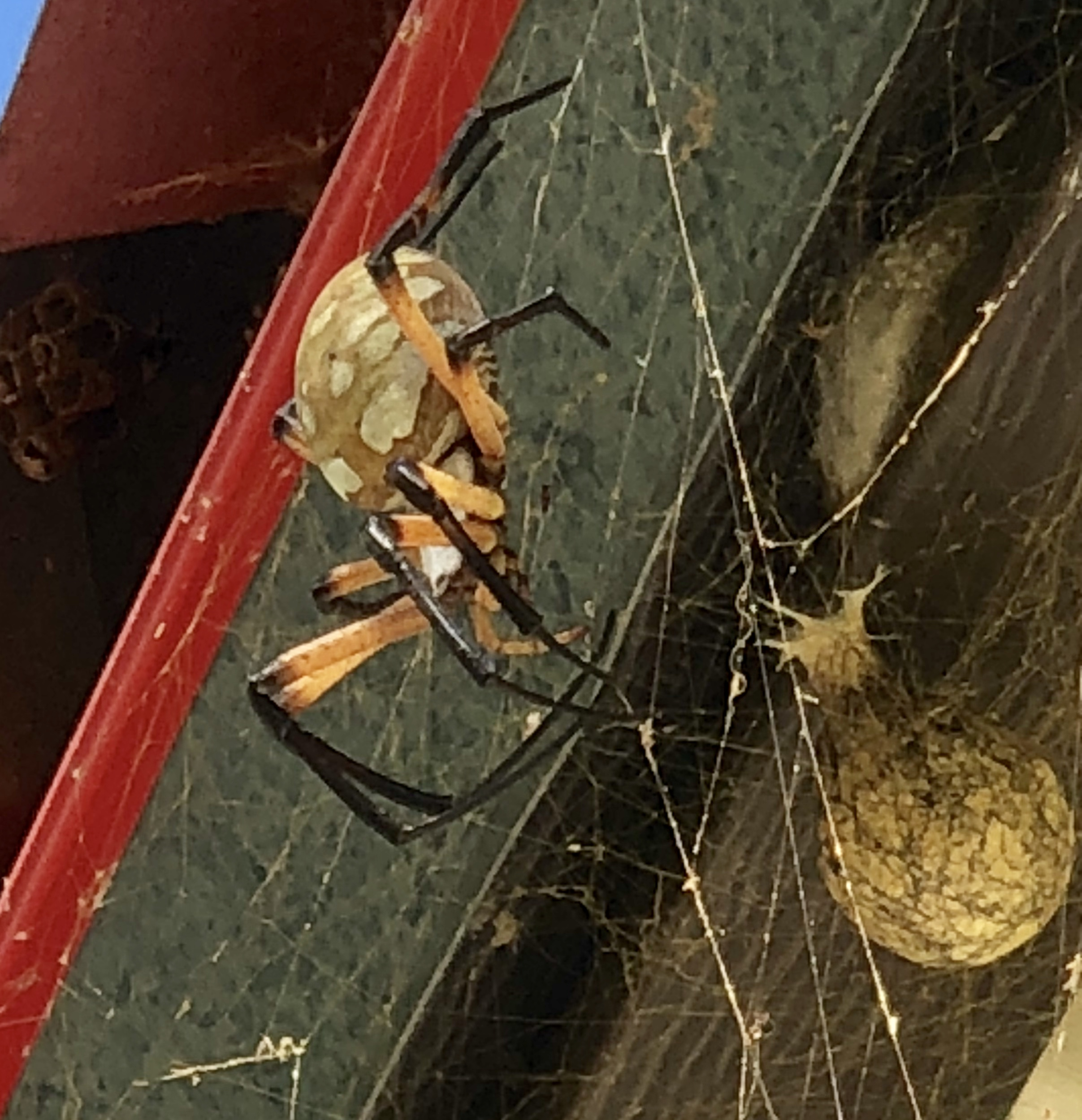 garden_spider