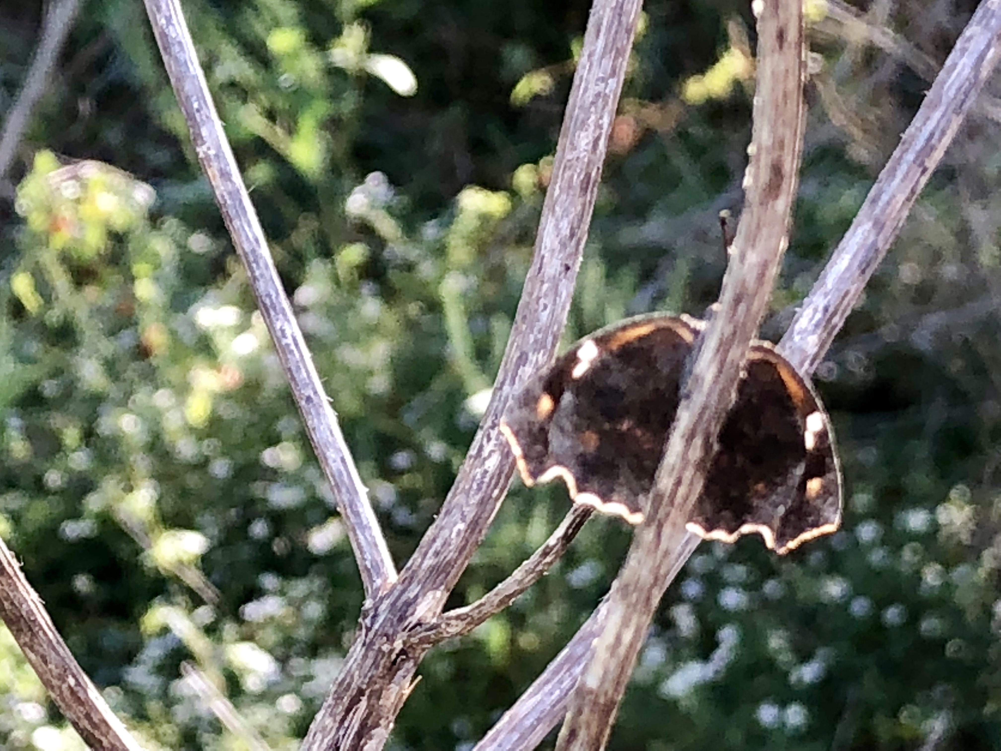 buttefly back