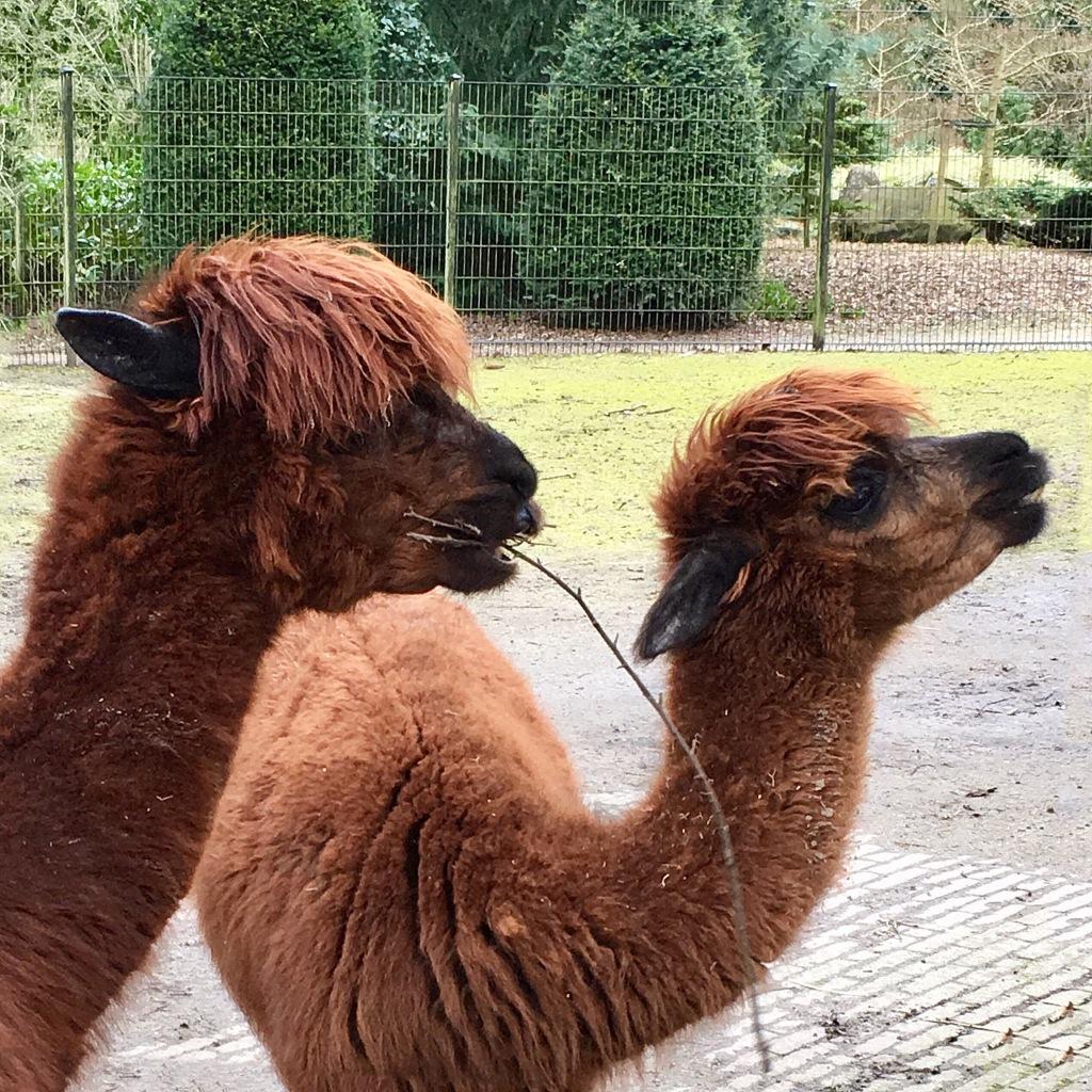 Two llamas.