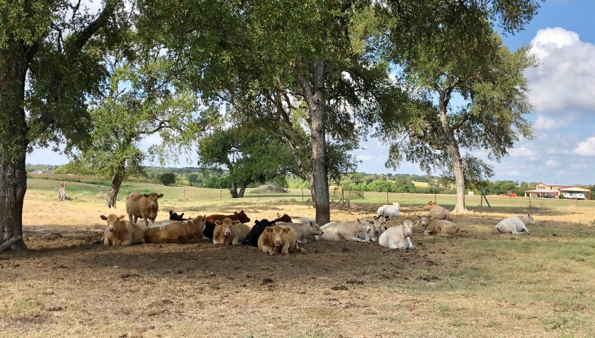 cows under a tree